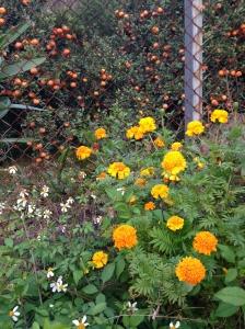 Marigolds & Oranges