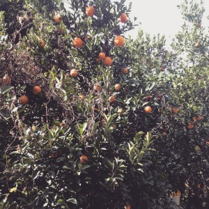 Orange grove at the top of the mountain.